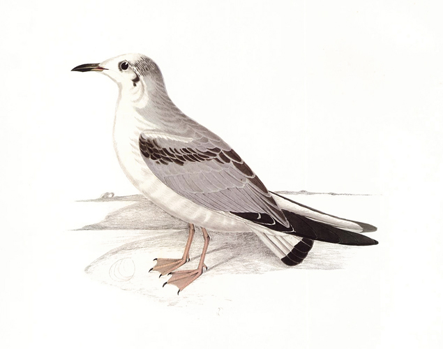 Bonaparte's Gull. Birds of the Pacific Slope. Andrew Jackson Grayson.