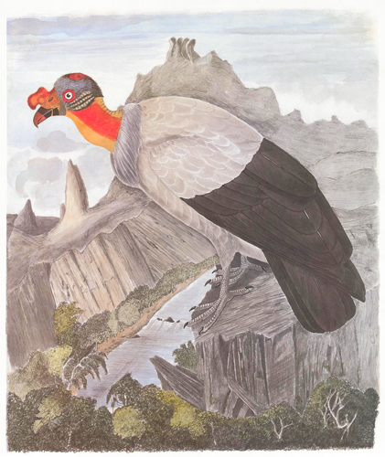 King Vulture. Birds of the Pacific Slope. Andrew Jackson Grayson.