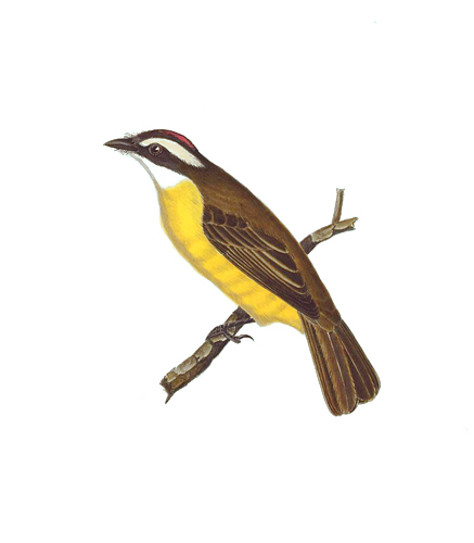 Social Flycatcher. Birds of the Pacific Slope. Andrew Jackson Grayson.