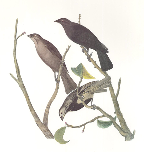 Brown-Headed Cowbird. Birds of the Pacific Slope. Andrew Jackson Grayson.