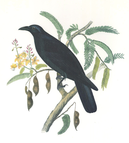 Mexican Crow. Birds of the Pacific Slope. Andrew Jackson Grayson.