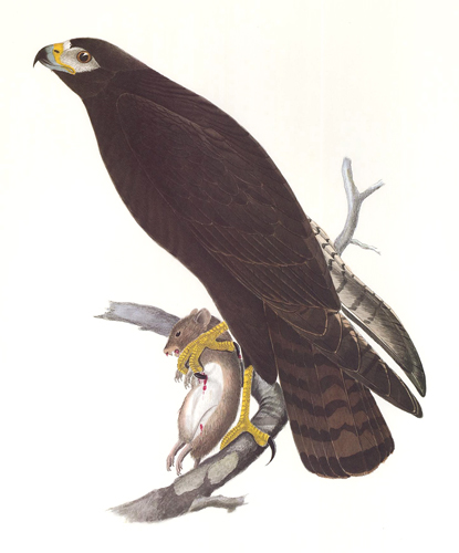 Zone-Tailed Hawk. Birds of the Pacific Slope. Andrew Jackson Grayson.