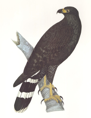 Great Black-Hawk. Birds of the Pacific Slope. Andrew Jackson Grayson.
