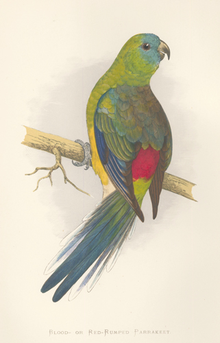 Blood- or Red-Rumped Parrakeet. Parrots in Captivity. William Thomas Greene.
