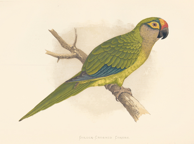 Golden-Crowned Conure. Parrots in Captivity. William Thomas Greene.