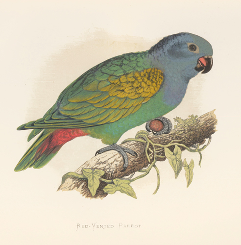 Red-Vented Parrot. Parrots in Captivity. William Thomas Greene.