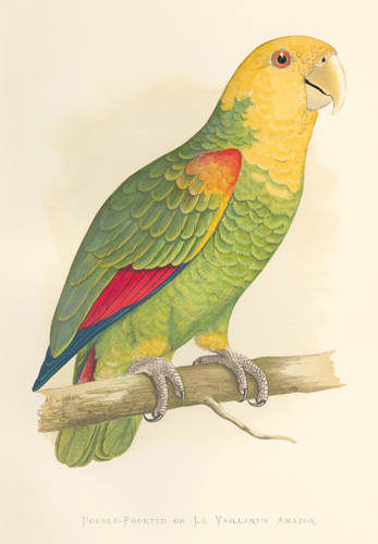 Double-Fronted or Le Vaillant's Amazon. Parrots in Captivity. William Thomas Greene.