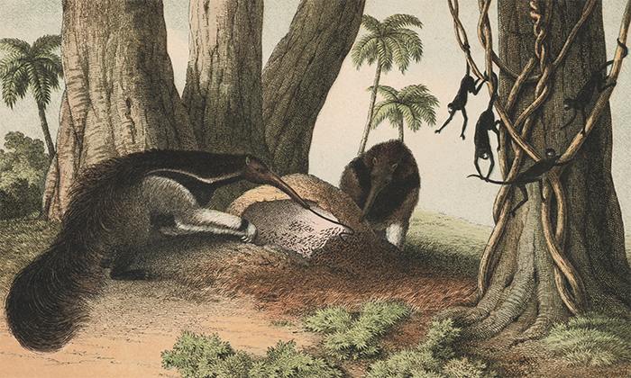 Giant Anteaters. The Instructive Picture Book. Adam White, M H. H. J.