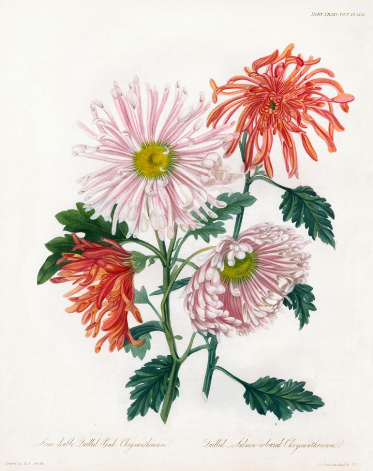 Semi-double Quilled Pink Chrysanthemum and Quilled Salmon-Colored Chrysanthemum. Royal Horticultural Society.