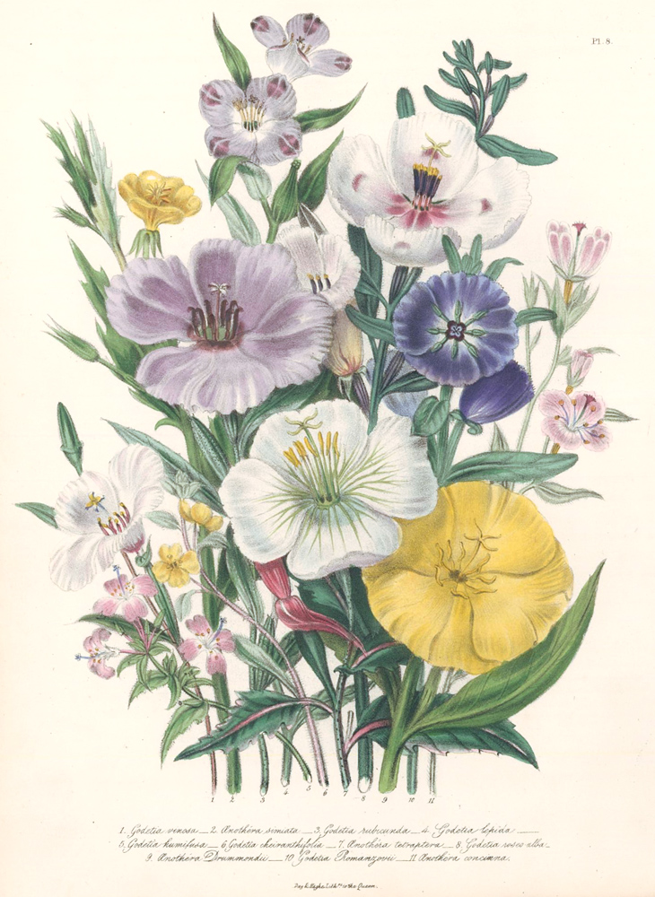 Pl. 8, 1. Godetia cinosa; 2 Anothera simiata; 3. Godetia rubicunda; 4. Godetia lepida; 5. Godetia humifusa... The Ladies Flower Garden of Ornamental Annuals. Jane W. Loudon.