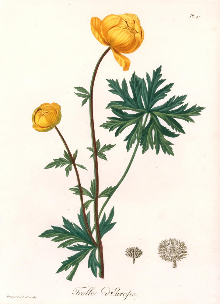 Pl. 97. Trolle d'Europe. Phytographie Medicale. Joseph Roques.