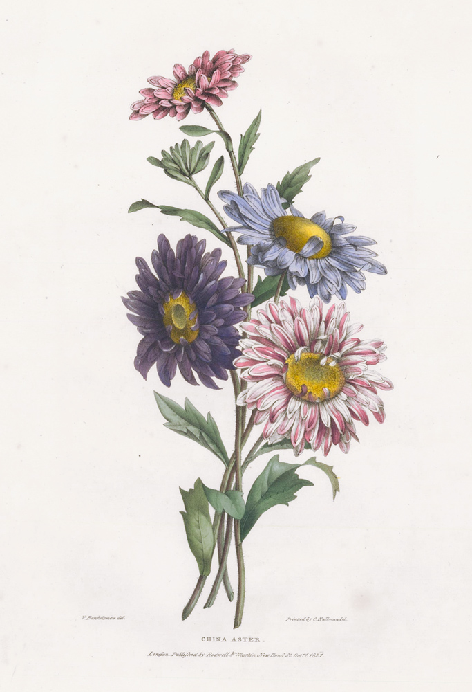 China Aster. A Selection of Flowers. Valentine Bartholomew.