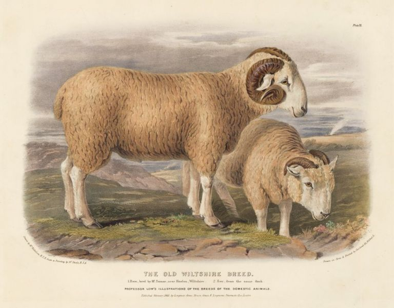 The Old Wiltshire Breed. The Breeds of the Domestic Animals of the British Islands. David Low.
