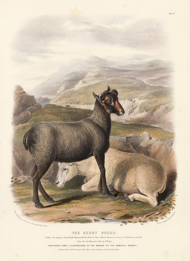 The Kerry Breed. The Breeds of the Domestic Animals of the British Islands. David Low.