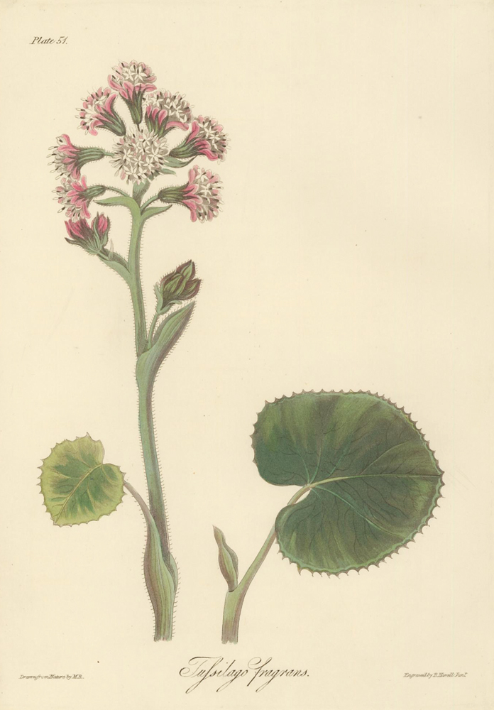 Tussilago fragrans (Fragrant Coltsfoot). Margaret Lace Roscoe.