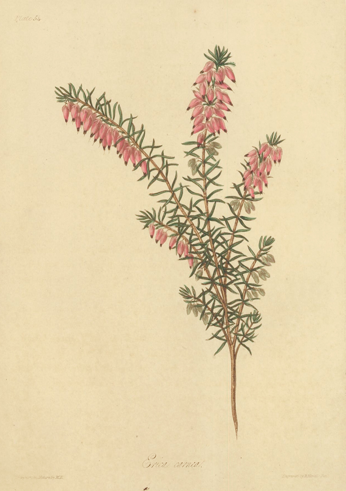 Erica carnea (Flesh colored, early flowering Heath). Margaret Lace Roscoe.