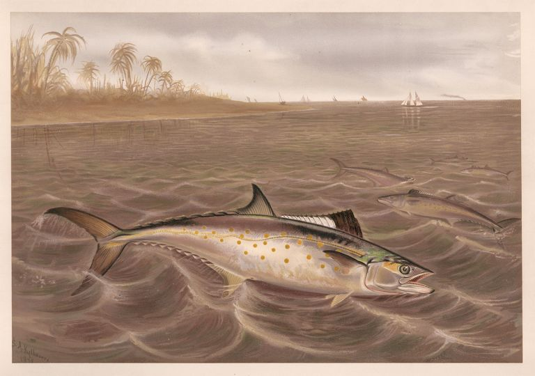 Spanish Mackerel. Game Fishes of the United States. S. A. Kilbourne.