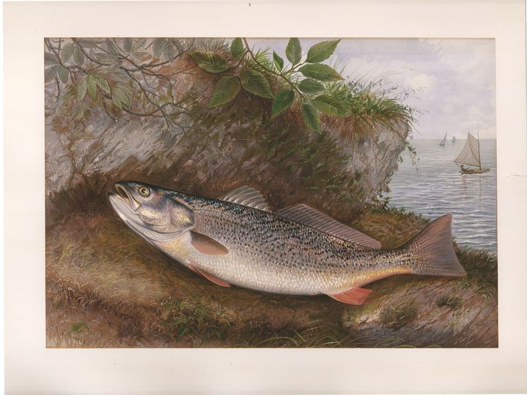 Weakfish. Game Fishes of the United States. S. A. Kilbourne.