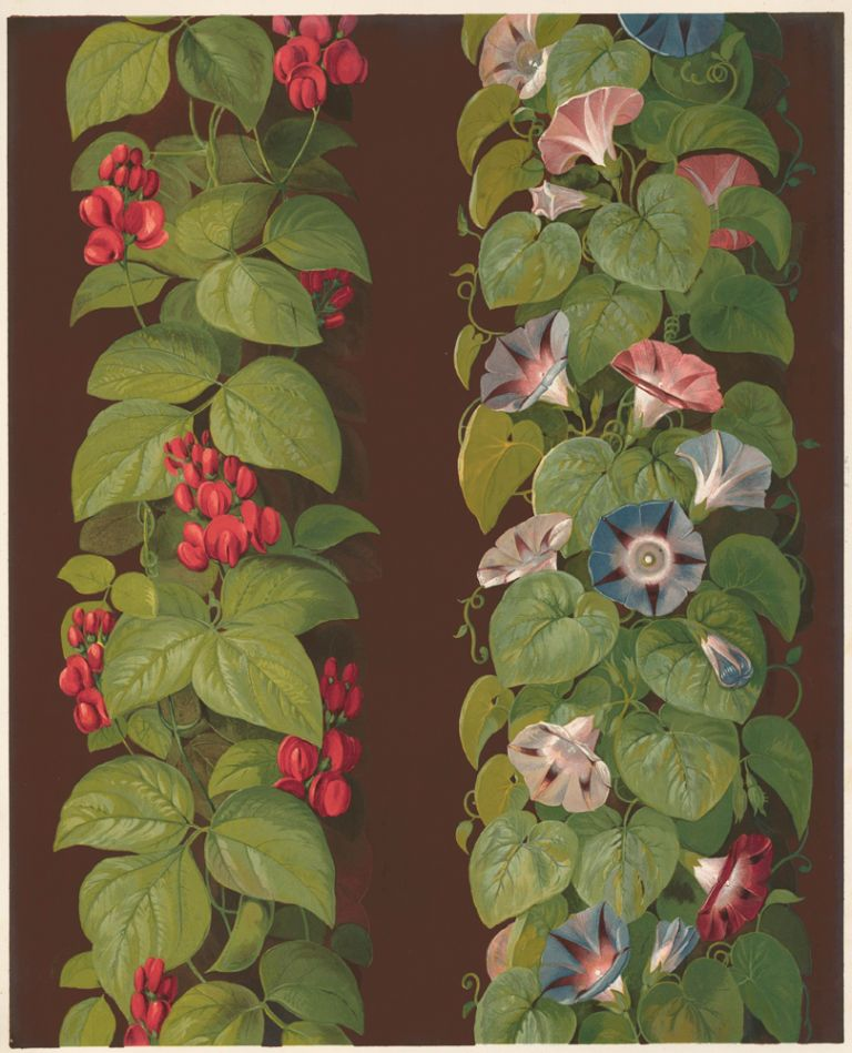 The French Bean and the Convolvolus. Specimens of Ornamental Art. Lewis Gruner.