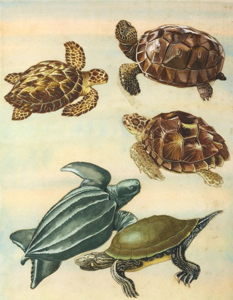 Gopher Tortoise, Hawksbill, Loggerhead, Leatherback and Map Turtles. Unknown.