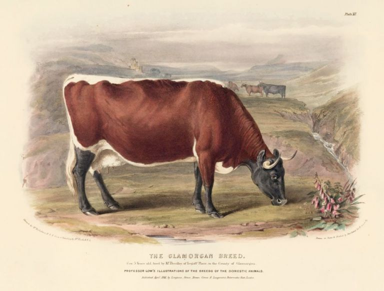 The Glamorgan Breed. The Breeds of the Domestic Animals of the British Islands. David Low, W. Nicholson.