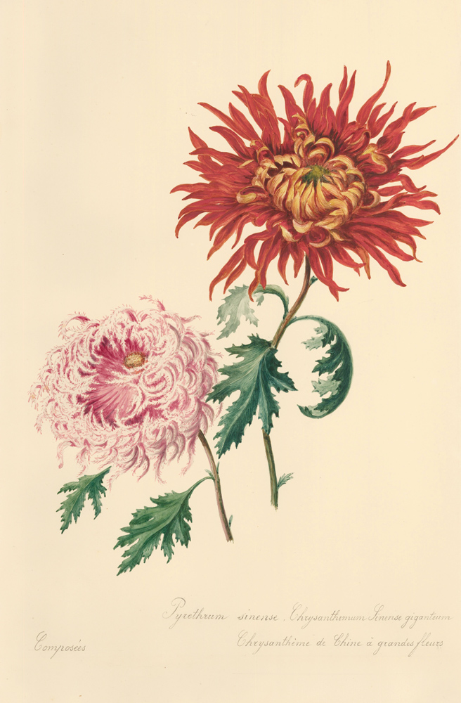 Chrysanthemums. French School.
