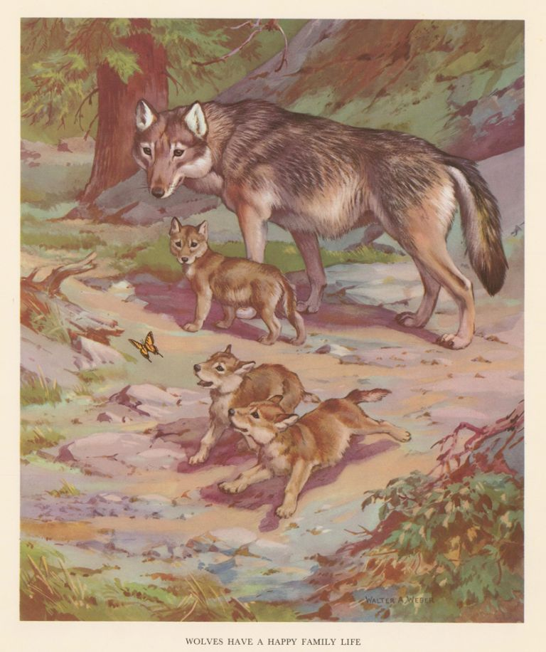 Wolves Have a Happy Family Life. Homes and Habitats of Wild Animals. Walter Alois Weber.