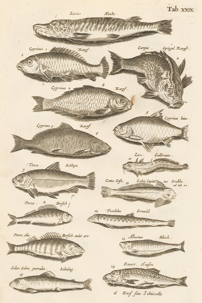 Tab. XXIX. Bottom feeders. Historia Naturalis, de Exanguibus Aquaticis. Johann Jonston.