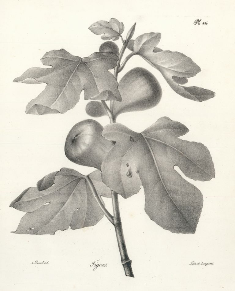 Figues. Antoine Pascal.