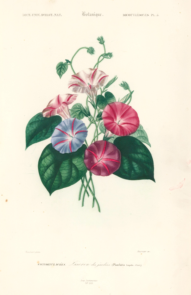 Convolvulacees [Morning glory]. Dictionnaire Universel d'Histoire Naturelle. Charles D'Orbigny.