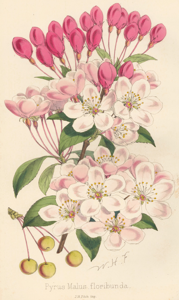 Pyrus Malus floribunda [Japanese Crab Apple]. The Florist and Pomologist: A Pictorial Monthly Magazine of Flowers, Fruits, & General Horticulture. W. H. Fitch.