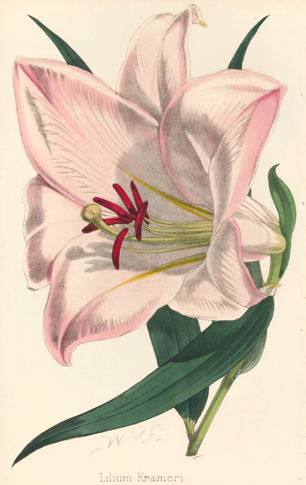 Lilium Krameri [Japanese Lily]. The Florist and Pomologist: A Pictorial Monthly Magazine of Flowers, Fruits, & General Horticulture. W. H. Fitch.