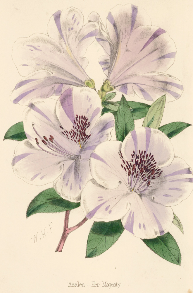 Azalea - Her Majesty [Gladiolus]. The Florist and Pomologist: A Pictorial Monthly Magazine of Flowers, Fruits, & General Horticulture. W. H. Fitch.