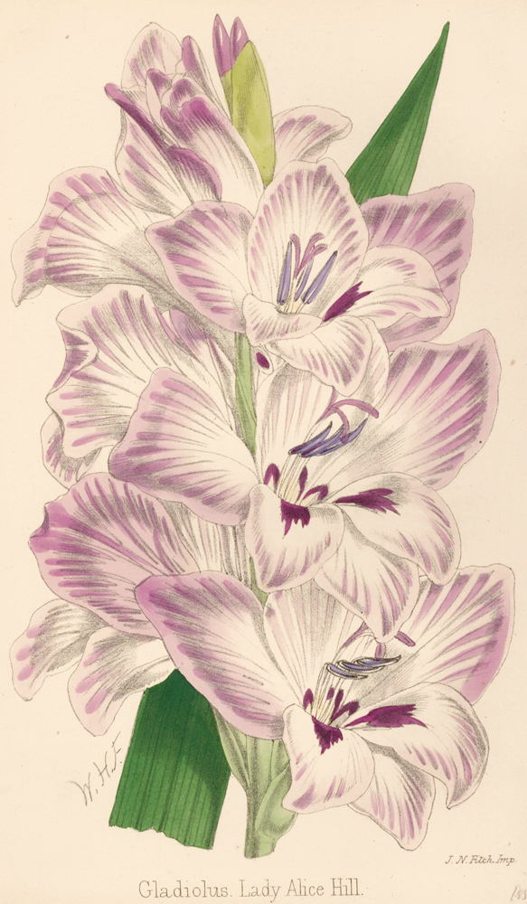 Gladiolus. Lady Alice Hill. The Florist and Pomologist: A Pictorial Monthly Magazine of Flowers, Fruits, & General Horticulture. W. H. Fitch.