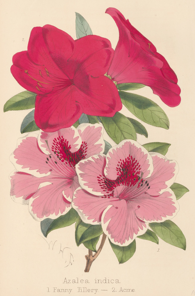 Azalea indica. The Florist and Pomologist: A Pictorial Monthly Magazine of Flowers, Fruits, & General Horticulture. W. H. Fitch.