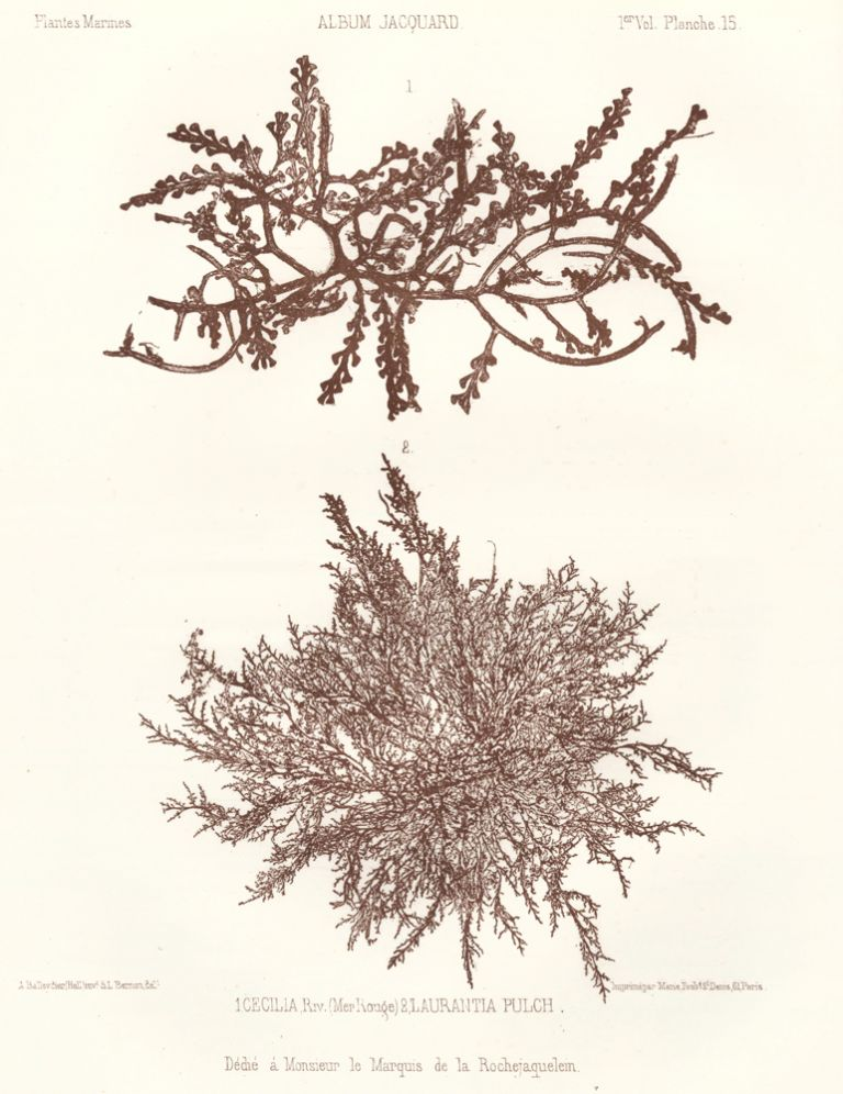 Seaweed: Cecilia, Riv. (Mer Rouge) and Laurantia Pulch. Album Jacquard. Augustin Balleydier.