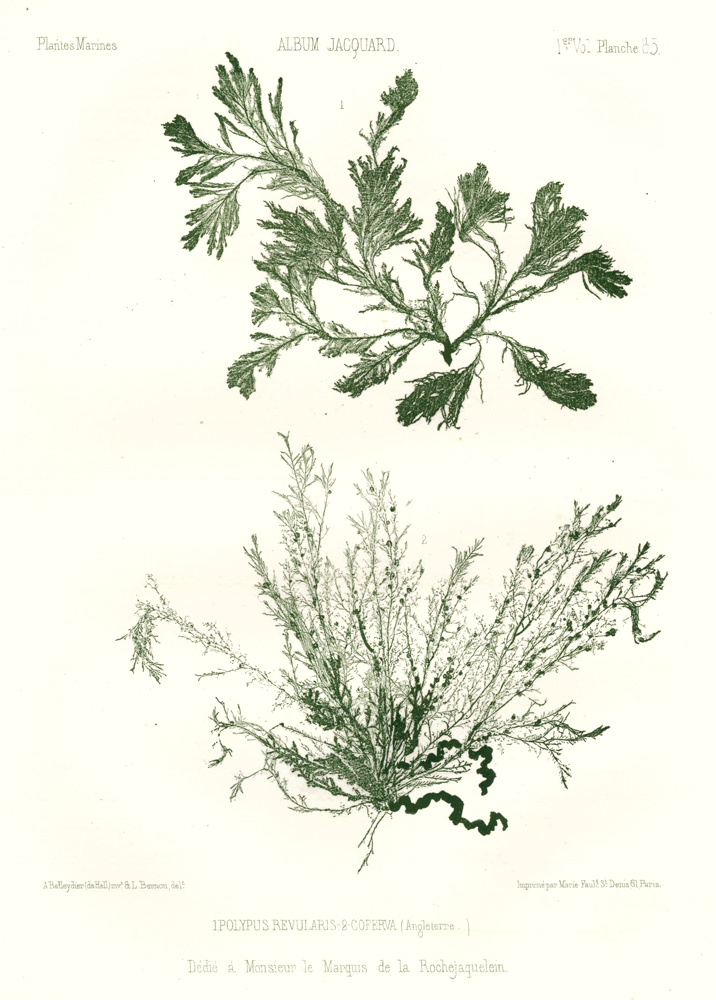 Seaweed: Polypus Revularis and Coferva (Angleterre). Album Jacquard. Augustin Balleydier.