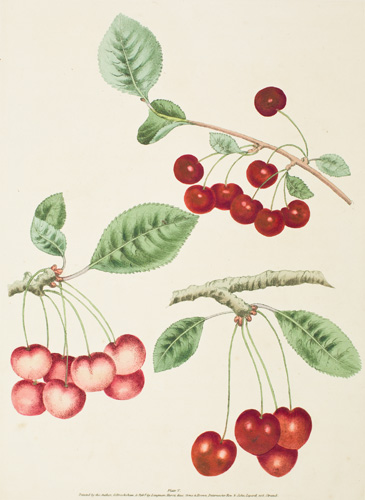 Pl. 5. Adam's Crown, Early May, Red-Heart [Cherries]. Pomona Britannica. George Brookshaw.