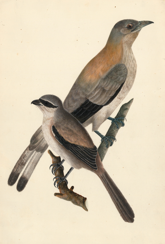 Waxwings. Unknown.