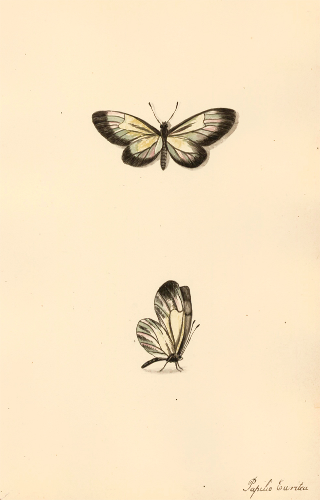 Papilio Euritea. Butterflies and Insects. Sara Anne Moore.