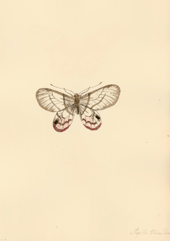 Papilio Menander. Butterflies and Insects. Sara Anne Moore.
