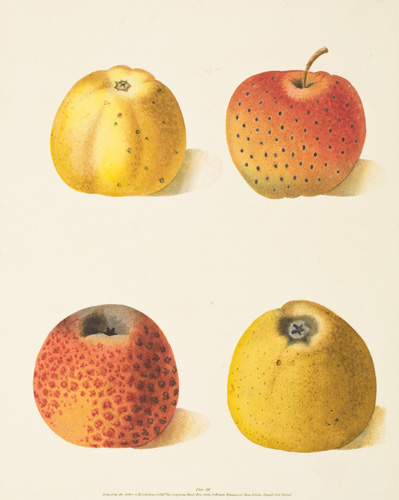 Pl. 54. Courpendu Blanche, Courpendu Rouge, Embroidered Pippin, Lemon Pippin [Apples]. Pomona Britannica. George Brookshaw.