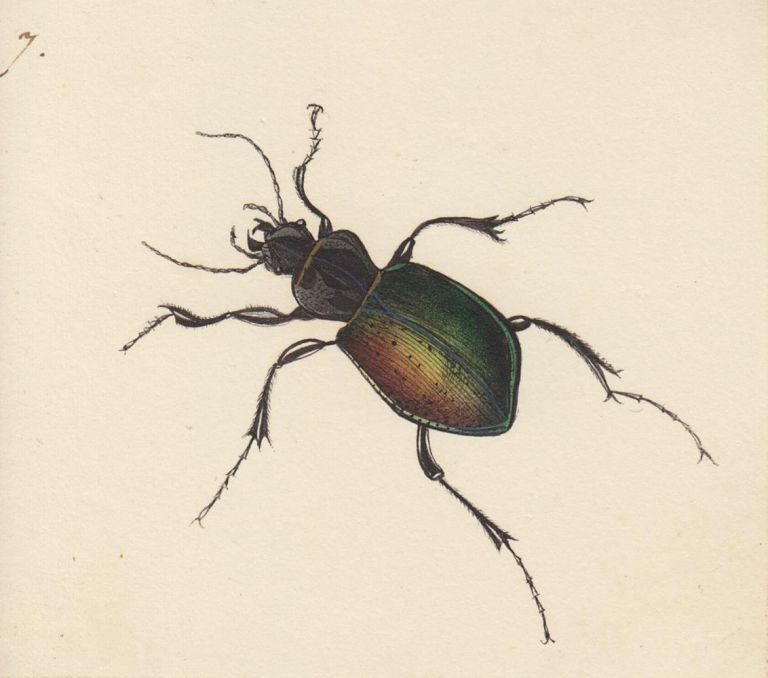 Calosoma sycophanta. Butterflies and Insects. Sara Anne Moore.