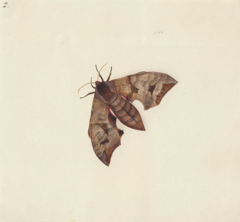 Moth. Butterflies and Insects. Sara Anne Moore.