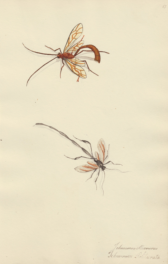 Two wasps. Butterflies and Insects. Sara Anne Moore.
