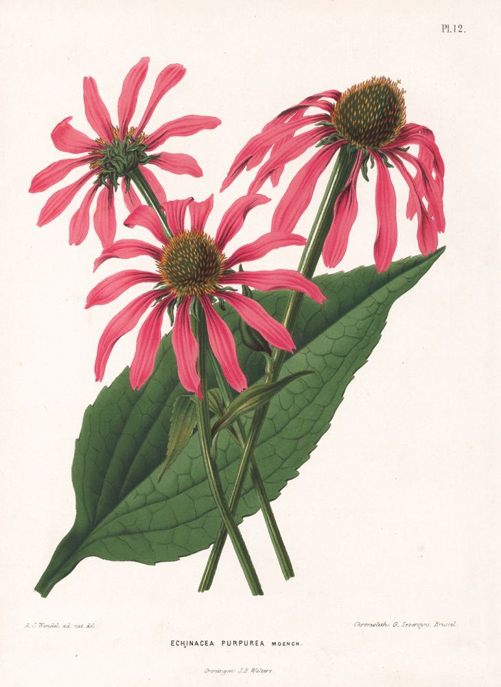 Echinacea Purpurea. G. after A. J. Wendel Severeyns.