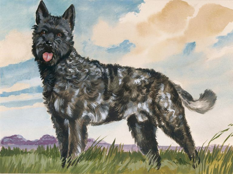 Dutch Shepherd Rough Coat. Unknown.