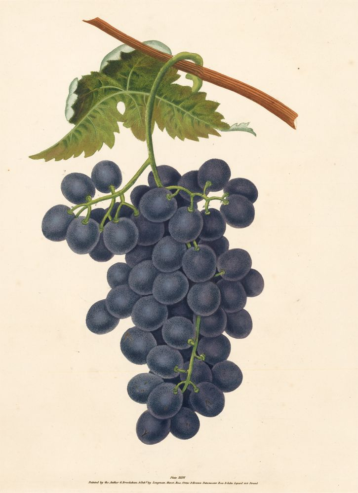 Pl. 36. Raisin de Calmes [Grapes]. Pomona Britannica. George Brookshaw.