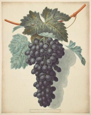 Grapes. Pomona Britanica. George Brookshaw