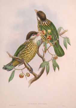 The Birds of New Guinea and the Adjacent Papuan Islands. John Gould, RIchard Bowder Sharpe,...